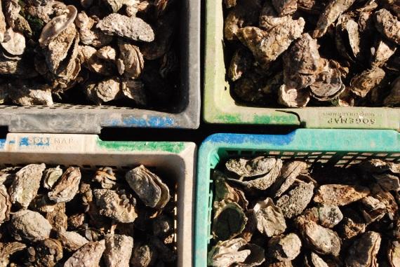 26 huitre Ile d'oléron